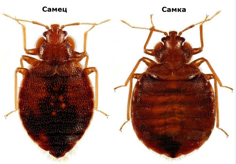 Клопы постельные (Cimicidae) – семейство отряда полужесткокрылых.