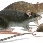 грызуны мыши и крысы