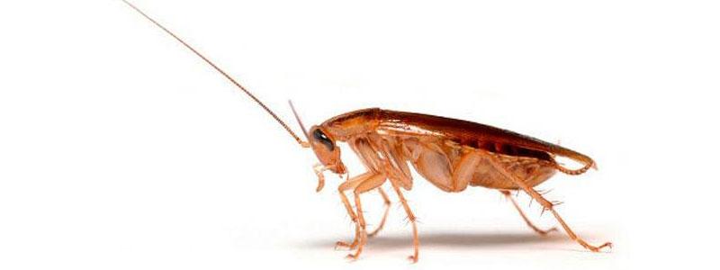 Тараканы: диагностика и профилактика